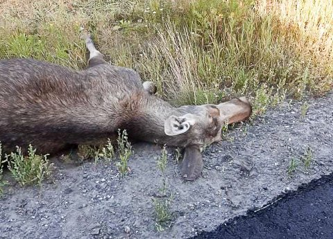 ELGPÅKJØRSEL: Denne elgkua måtte bøte med livet etter at den ble påkjørt i Sigdal natt til torsdag.
