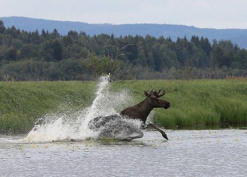 1 Sommerens blinkskudd: Tor Øivind Løchen fotograferte denne elgoksen som la på svøm, et bilde juryen valgte til sommerens blinkskudd.