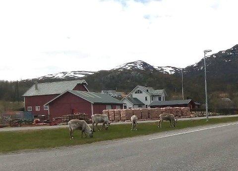 LEI AV REIN: Beboere i Talvik er lei av rein som overtar bygda og gjør fra seg over alt.