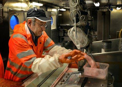 SKREITOKTET: Gang på gang: Harald Senneset tar leverprøve av en fisk på skreitoktet i 2011.