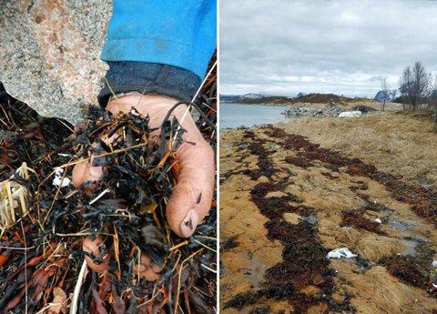 SMÅ PARTIKLER: Slik så det ut i tangbeltet i Bogbukta, da Fylkesmannens miljøavdeling kom på befaring. Bildet viser tang iblandet små plastpartikler fra oppkvernede oppdrettsmerder.