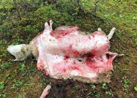 FLERE KADAVRE: I Bardu er det observert funn av ni kadaver og de siste dagene har det også blitt funnet døde sauer i Lavangen og Salangen.