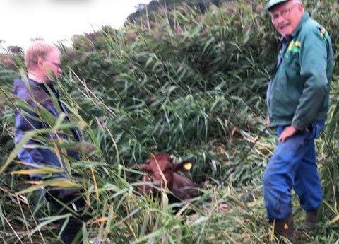 I GRØFTA: Det tok et par timer å få kua Ria ut av grøfta. Da hun kom opp var hun i fin form. Arild Hokstad (t.v.) og Aage Høeg gjorde en solid innsats for å hjelpe henne opp.