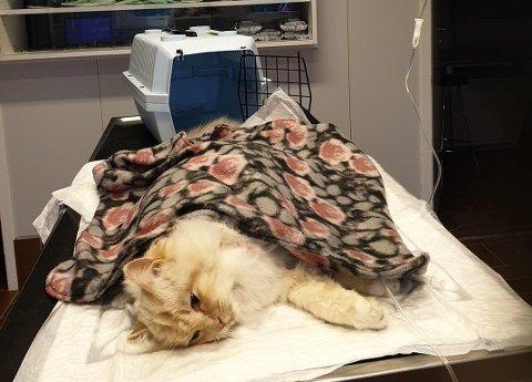 BLE FUNNET HARDT SKADET: Katten Rolex ble funnet hardt skadet i Brumunddal.