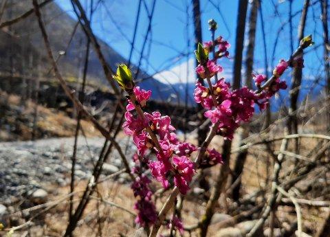 Tysbast blomstrer flere steder i Tinn akkurat nå - som her på Miland langs Månastien.