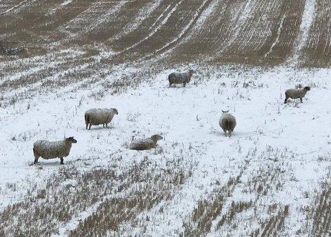 PÅ JORDET: Sauene har tatt seg til rette både på jordene og i hagene som ligger i området. Foto: Privat