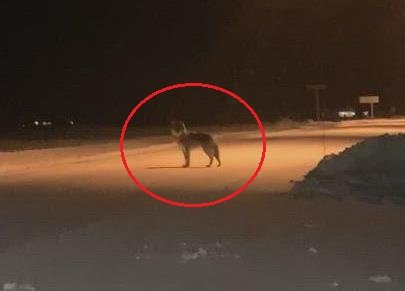 GRÅBEIN: En ulv dukket torsdag kveld opp på en bussholdeplass på Brandval.