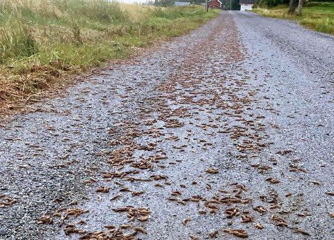 VOLDOMME MENGDER: Arve Holm Lilletorp bor like vel området hvor brunskogsneglene vrimler i veibanen. Han har heldigvis sluppet unna med skrekken etter å ha saltet gårdsplassen sin.