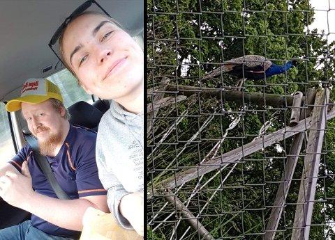 FY FASAN: Guro Mikkelsen og Jan Ivar Poosz kom over denne påfuglen i Stokke mandag. – Det var definitivt en påfugl, ikke en fasan, sier Guro.