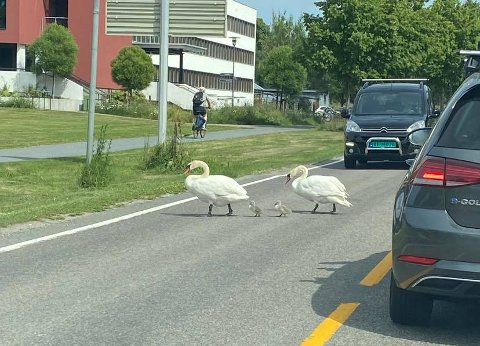 PÅ FREDAGSTUR: Svanefamilien krysset Fylkesvei 152 midt i fredagsrushen.