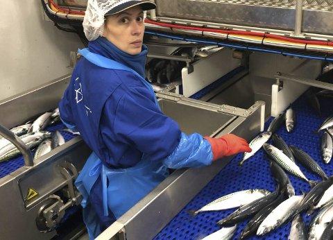Sortering: Her går makrell gjennom sorterting på storleik og blir slusa inn i anlegget.