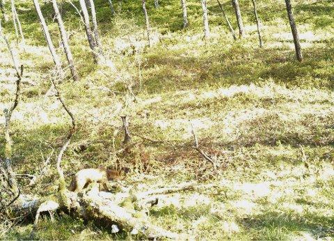 REVEN: Odd Arild Dale har eit viltkamera som fanga noko spesielt.
