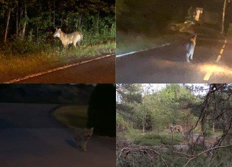 NÆRT: Ulven har blitt sett både på Trosvik, i Veum-marka og i Onsøy de siste dagene.