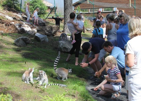 Lemurene var nok litt forvirret på sitt nye feriested.