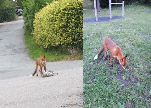 ARKIV: Dette bildet er fra tidligere i høst da reven på Uløya tok en katt. Det andre bildet viser en rev som har fanget en måke. Nå har en rev tatt livet av en liten hund.