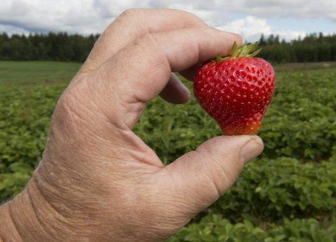 FRISK OG GOD: Norges Bærdyrkerlags leder, Olav Etnestad fra Redalen, mener det er stor forskjell på de som plukker jordbær.