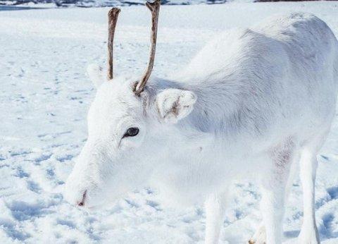 VAKKERT SYN: Denne hvite reindsyrkalven var alt annet enn sjenert.