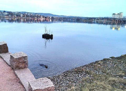 MARITIM GJEST: Steinkobben dukket opp torsdag ettermiddag ved elvepromenaden på Strømsø.