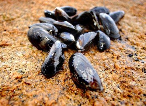 Utsatt for sykdom: På Akerøya ble det funnet store mengder døde blåskjell i fjor høst. (Arkivfoto: Jørgen Braastad)