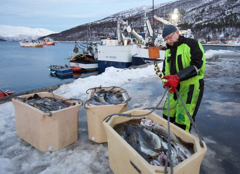 Pensjonisten Thorbjørn Eriksen tar i mot fisk på kaia ved fiskemottaket i Burfjord. 68-åringen nølte ikke med å slå til da fiskehandler Karl Alberth Hansen ringrte. - Det er trivelig å være i aktivitet, og så er lønna et kjærkomment tilskudd til det han stat gir meg i pensjon, sier Eriksen.