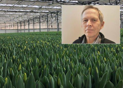 TULIPANER: Flere millioner tulipaner står klare til å bli satt sammen til buketter. – Vi må selge det vi har nå, sier Jørgen Karlsen ved J Karlsen Gartneri AS.