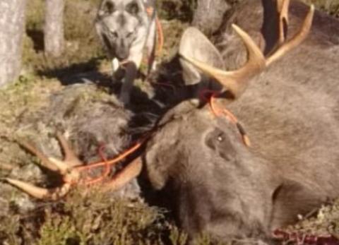 PENT GEVIR: Magne Lilleheier måtte sette seg på post siden hunden ikke var i form. Resultatet ble en 13-taggers elgokse.