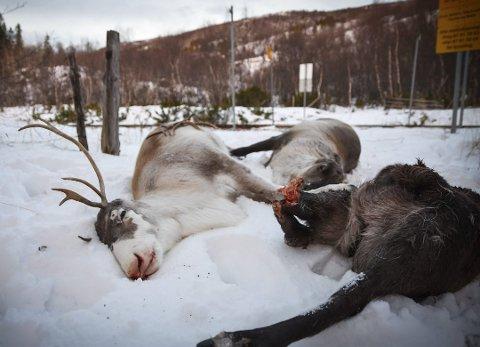 En søndag i 2017 ble 80 rein drept på Saltfjellet. Dagen etter ble ytterligere 10 rein drept ved Reitan i Bodø. Foto: Simen Pedersen