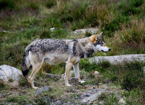 Mandag skjøt jaktlaget i Nord-Fron kommune en voksen ulvetispe som ble observert da den gikk til angrep på en saueflokk.
