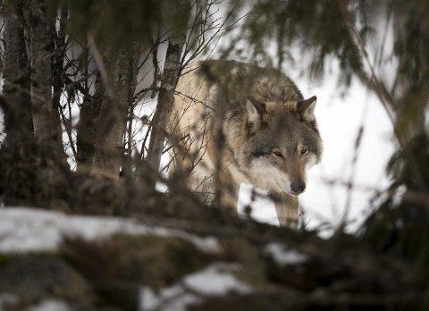 Var det ulv? En leser mener at hun så en ulv komme ned gjennom skogen og over gamle E-18 på nyttårsaften. Dette bildet er fra Langedrag.Foto: Heiko Junge / NTB scanpix