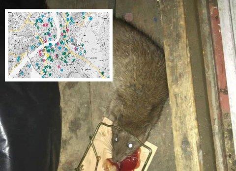 GIKK I FELLA: Denne rotta fikk i hella hjemme hos Terje Michelsen på Vestsida i april. Etter at problemet forsvant fra Vestsida har flere begynt å melde ifra om observasjoner i andre bydeler. Kommunens digitale varslingstjeneste (innfelt) gjør det enkelt å melde ifra om «rotteplager» og andre feil. Punktene på skjermen viser totalen av feilmeldinger, ikke utelukkende rottefunn.