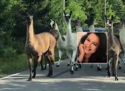 STOPPET AV DYR: Bilistene måtte pent vente på at dyrene flyttet på seg.