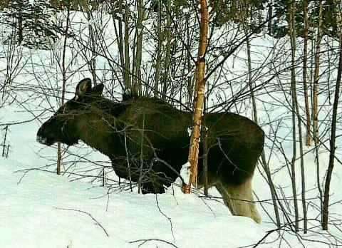 Hjortedyra sliter i snøen. Sør-Aurdal kommune har innført ekstraordinær båndtvang.