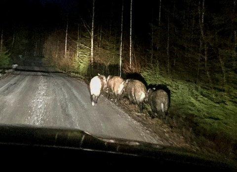 SPASERTE: Journalist Ina Authen var ute på jobb  i grensetraktene ved Halden og Aremark da hun møtte en flokk villsvin. De enset henne knapt i bilen. Villsvin er smittebærere av den fryktede afrikanske svinepesten.