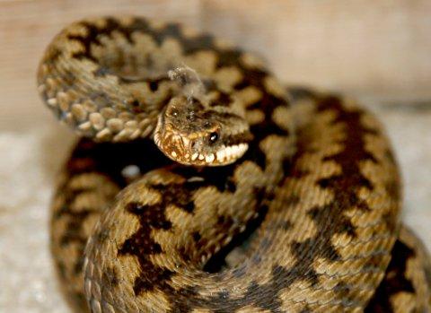 Hoggorm er en av mer enn 200 arter i hoggormfamilien, men den eneste som lever fritt i Nord-Europa. Det er den eneste giftige orm/slange som finnes i Norge og giften kan være dødelig. Foto: Terje Pedersen / NTB scanpix