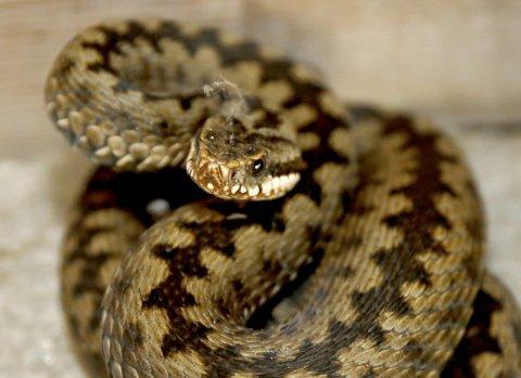 Ikke husdyr: Hoggormen er den eneste giftige slangen i Norge.