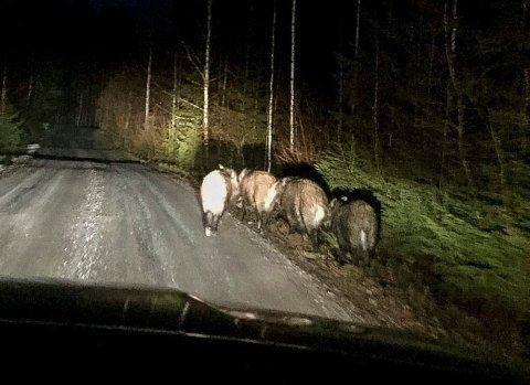 Fritt vilt: Villsvin er svartelistet i Norge. Men det ønskes prøver til overvåking av både bestand og helse.