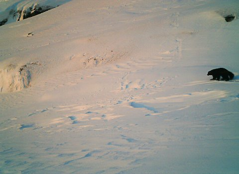 Ei jervetispe fotografert ved et hi på Helgeland i vår.