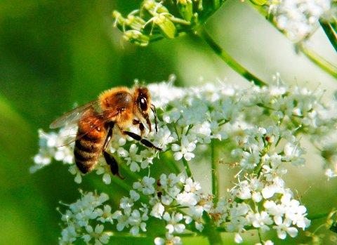 ARBEIDER:Honningbie på jobb.
