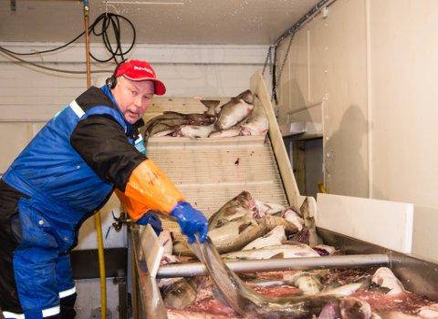 – Disse fangstene er av ypperste kvalitet, takket være at de stubber med garnene: de blir ikke stående hele dagen til fangst, forteller fiskkjøper jan Arne Skog.
