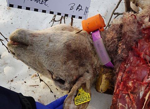 Tatt av bjørn: Et lam og en voksen sau ble tirsdag eller onsdag drept av bjørn ved Langvannet i Evenes.