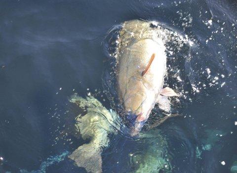 FALT PÅ HAVET: Hendelsen stammer fra en inspeksjon i Lofoten i vinter. Da falt fire torsk på havet uten at mannskapet forsøkte å plukke de opp. Illustrasjonsfoto