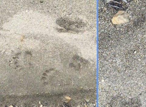 Sand: SNO har studert disse bildene tatt i sand i Demmeldalen denne uken. Bildene viser spor av bjørn. Foto: Arne Kristiansen