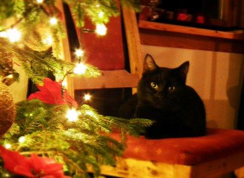 Katten tykkjer òg det er koseleg med jul. (Foto: Dorota Wojcik).