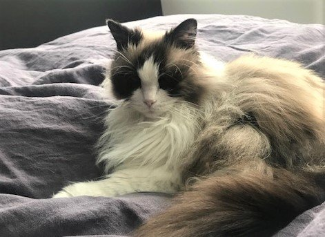 DØDE: Katten Kaffe (13) fra Simensbråten måtte avlives etter å trolig ha blitt stukket 50 ganger med en spiss gjenstand i underkroppen og bakparten. Nå utlover dyrevernsorganisasjonen Noah dusør i saken.