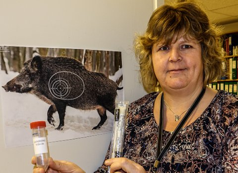 VIKTIG KAMP: – Det er en viktig jakt på villsvin som nå settes i gang for fullt, sier Pia Knøsen Lund ved landbrukskontoret for Våler og Åsnes.  Ved landbrukskontoret får man nå utstyr til å ta nødvendige prøver av felt villsvin.