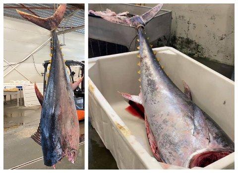 VERDIFULL: Prisen på ei makrellstørje av god kvalitet kan være flere hundre kroner kiloen, opplyser Svein Sivertsen på Dønna Fiskemottak, som fikk inn fangsten onsdag.