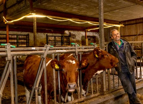 LYSER OPP:  Knut Vasdal sier at kuene virker å være meget fornøyde med belysningen i fjøset.