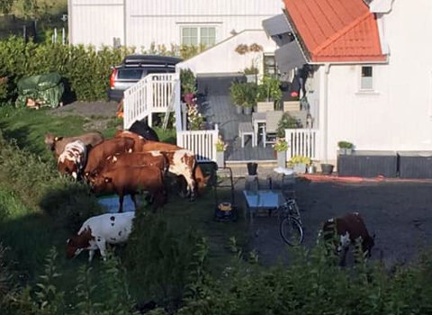 PÅ RØMMEN: Kalvene var på rømmen og «gjemte» seg i hagen hos Evy Bjerklund.