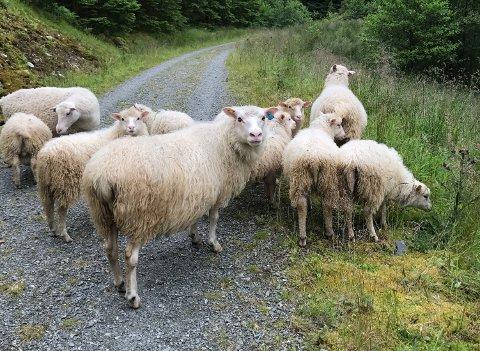 Vi traff ikkje mykje folk på veg mot Brakstadfjellet, men desse sauene ville gjerne helse på oss.