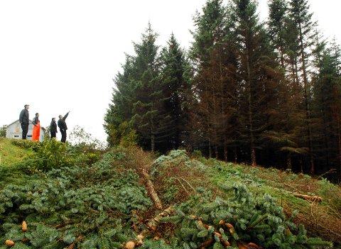 Sitkaskogen på Kvitnes har vokst seg hogstmoden.